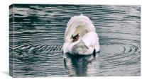 Mute Swan, Canvas Print