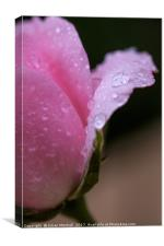 Rose petals after the rain, Canvas Print