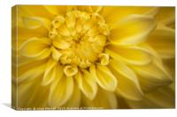Yellow Dhalia, Canvas Print