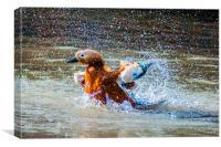 Duck Splash, Canvas Print
