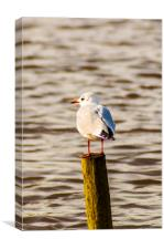 Seagull on the Lookout, Canvas Print