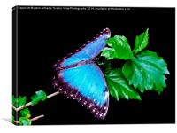 Blue Morpho Butterfly, Canvas Print