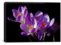 Spring Crocus., Canvas Print