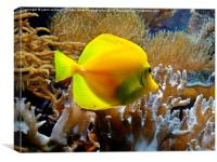 Yellow Tang, Canvas Print