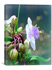 Tradescantia (Spiderwort) andersoniana Osprey, Canvas Print