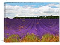 Lavender Landscape, Canvas Print