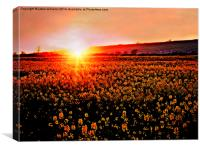 Rapeseed Flowers at Sunset, Canvas Print