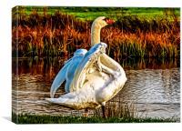 Swan in warm Sunlight. , Canvas Print