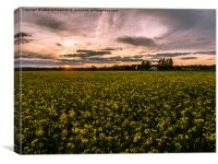 Sunset over Rapeseed. , Canvas Print