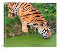 Thirsty Tiger, Canvas Print