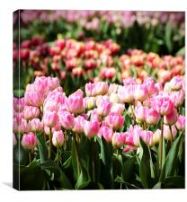 Tulips in the Sunshine, Canvas Print