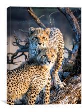 Cheetah Cubs, Canvas Print