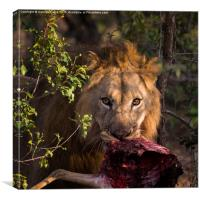 Lion, Phinda Game Reserve, South Africa, Canvas Print