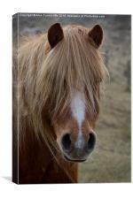 Pony Portrait, Canvas Print