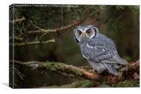 White-faced Scops Owl , Canvas Print