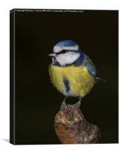 Blue Tit, Canvas Print