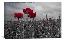 Opium Poppy Field, Canvas Print