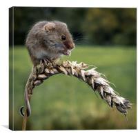 Harvest mouse, Canvas Print