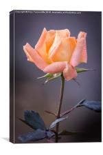 Single rose bloom, Canvas Print