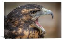 Chilean Blue Buzzard-Eagle, Canvas Print