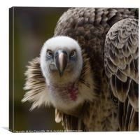 Griffon Vulture, Canvas Print
