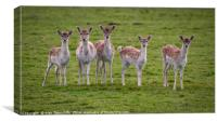 Young fallow deer does, Canvas Print