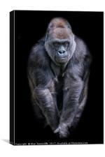 Silverback gorilla, Canvas Print