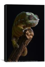 Panther chameleon, Canvas Print