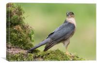 Sparrowhawk, Canvas Print