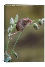 Harvest mouse, Canvas Print