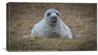 Grey seal pup, Canvas Print