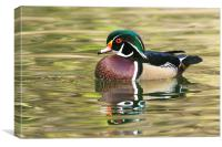 Wood Duck, Male, Canvas Print