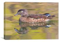 Isnt she lovely - Female wood duck, Canvas Print