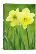 Hugging Daffodils, Canvas Print