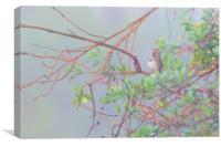 Song sparrow in fog, Canvas Print