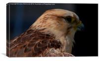 Peregrin Falcon, Canvas Print