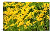Field of yellow wild flowers, Canvas Print