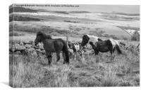 Wild Dartmoor Ponies, Canvas Print