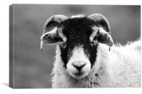 Angry Sheep, Canvas Print