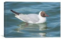 Black headed gull, Canvas Print