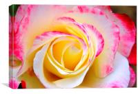 Raspberry Ripple Rose, Canvas Print
