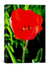Red Tulip in Bloom, Canvas Print