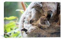 Koala mother and baby joey asleep cuddling, Canvas Print
