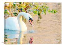 Swan Having A Drink, Canvas Print