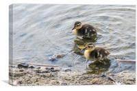 Cute Baby Ducklings, Canvas Print
