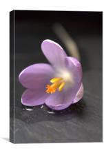 Single Purple Crocus, Canvas Print