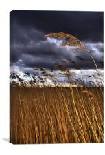 1 Reed in the Wind, Canvas Print