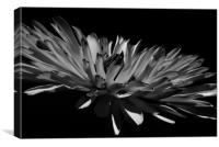 Aster in Black and White, Canvas Print