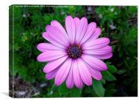 Violet Purple Sicilian Chrysanthemum Daisy, Canvas Print