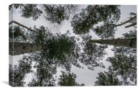 Looking up at the trees, Canvas Print